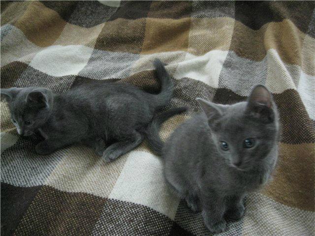 Продам: Русские голубые котята