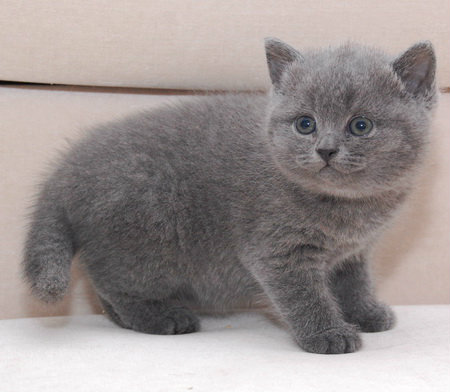 Продам: Британская голубая кошечка