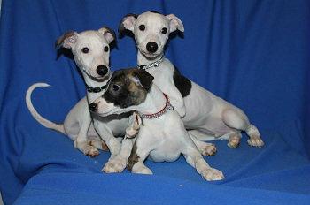 Продам: Продаются щенки уиппета
