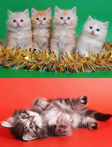 Продам: Более 20 Сибирских котят !!!