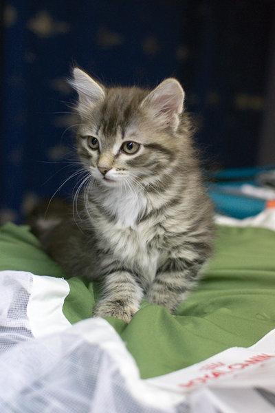Продам: Продам сибирских котят с родословной
