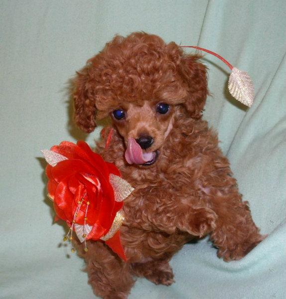 Продам: Продаются щенки (кобели )миниатюрного кр