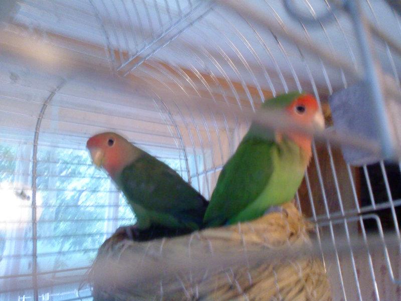 Продам: Попугаи НЕРАЗЛУЧНИКИ