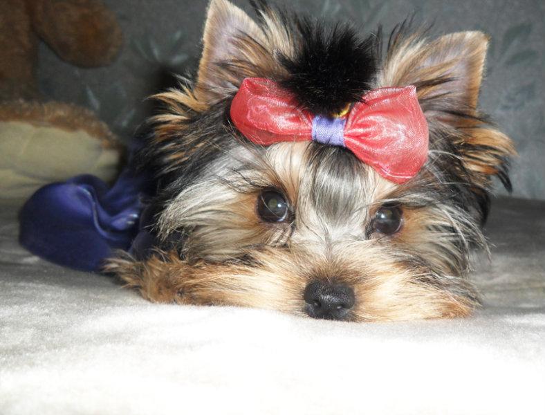 Продам: Красивые щенки мини йорка