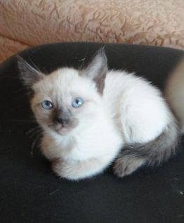 Продам: Тайские котята