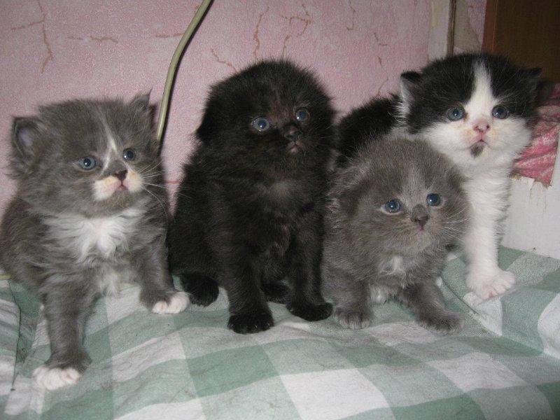 Продам: Котята породы хайленд фолд и хайленд стр