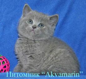 Продам: Британские плюшевые котята продажа