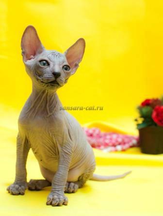 Продам: Ручные котята Донской сфинкс заботливому