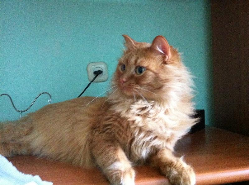 Отдам даром: Шикарный рыжый кот