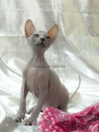 Продам: Донские сфинксы – котики