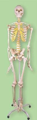 Продам Скелет человека из пластика 85 см