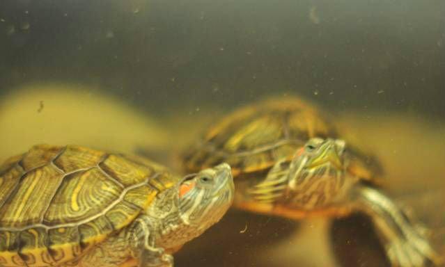 Продам Черепахи Красноухие