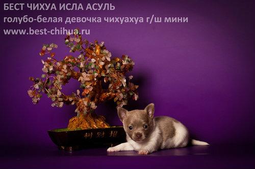 Продам: Чихуахуа щеночки редких окрасов в рассро