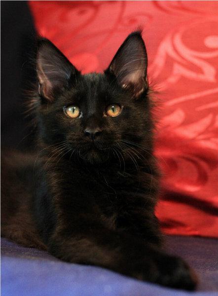 Продам Мейн кун котик