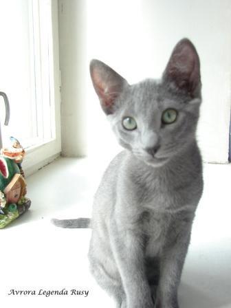 Продам котята русской голубой
