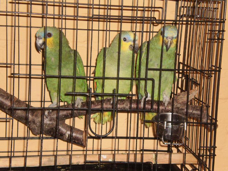 Продам Попугай Амазон
