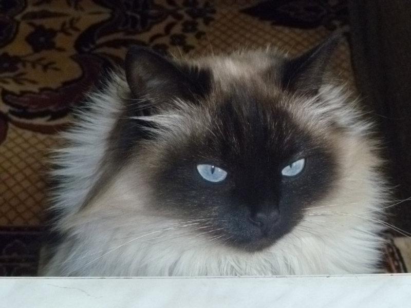 Отдам даром Отдам красивого, пушистого кота.
