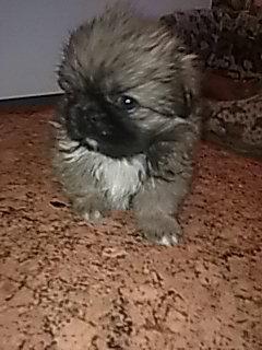 Продам щенок пекинес
