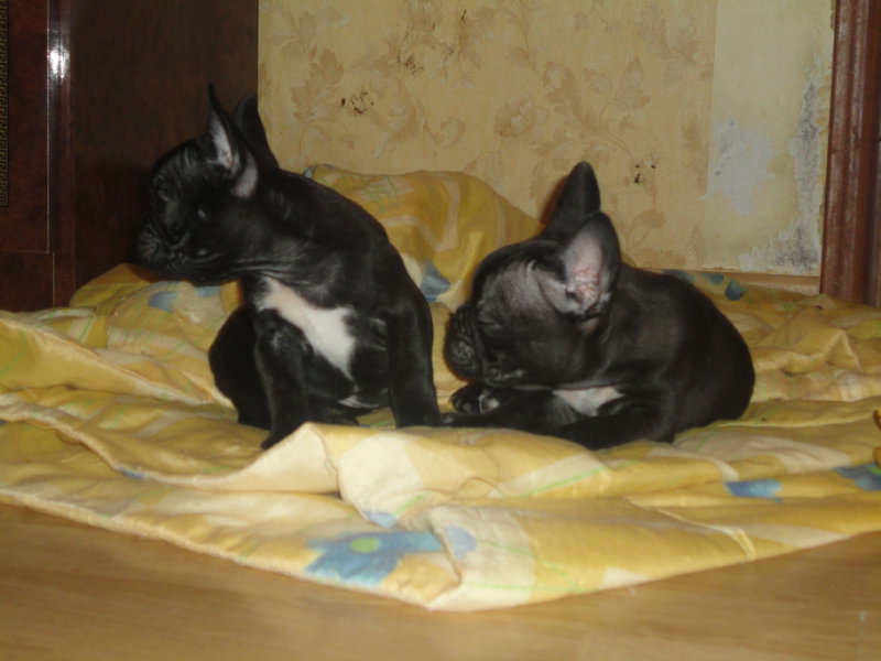 Продам: щенки французского бульдога