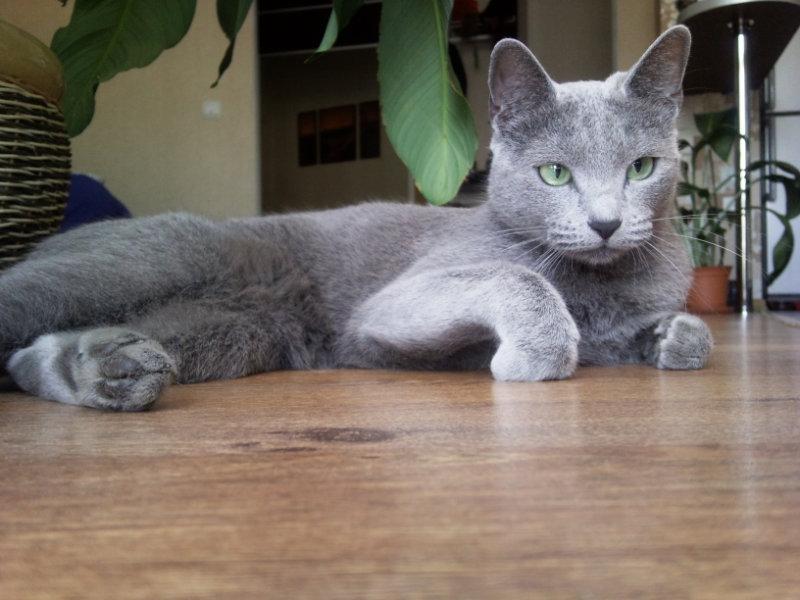 Продам котята русской голубой кошки