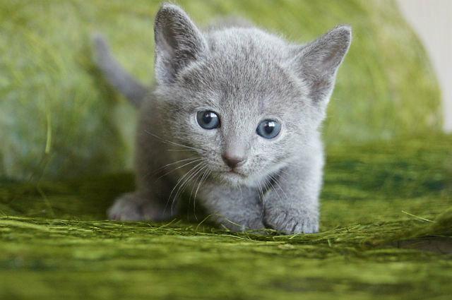 Продам Продаются котята породы русская голубая