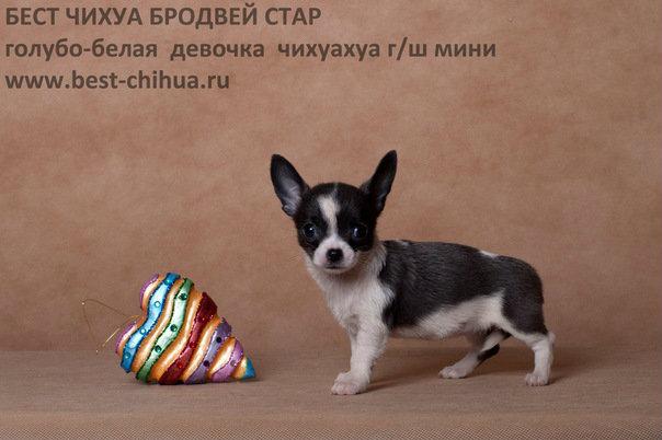 Продам: Чихуахуа щеночки в рассрочку