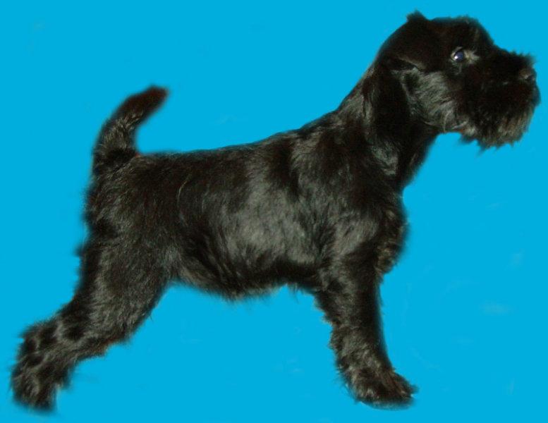 Продам: щенка цвершнауцера-девочку черную