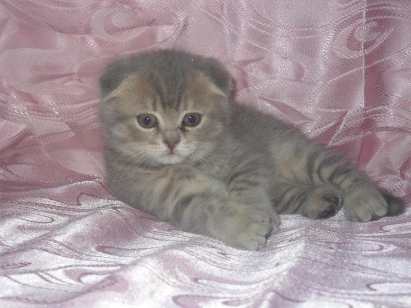 Продам: британские плюшевые котята