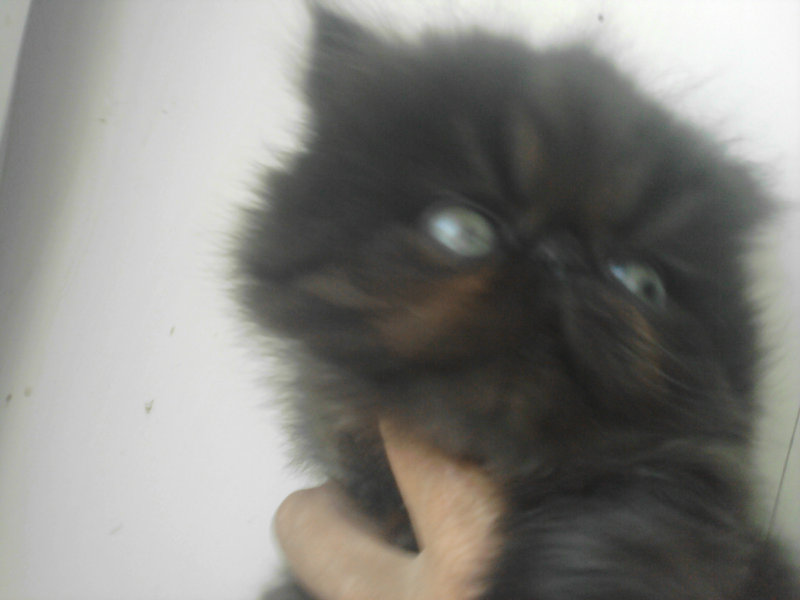 Продам персидский котенок