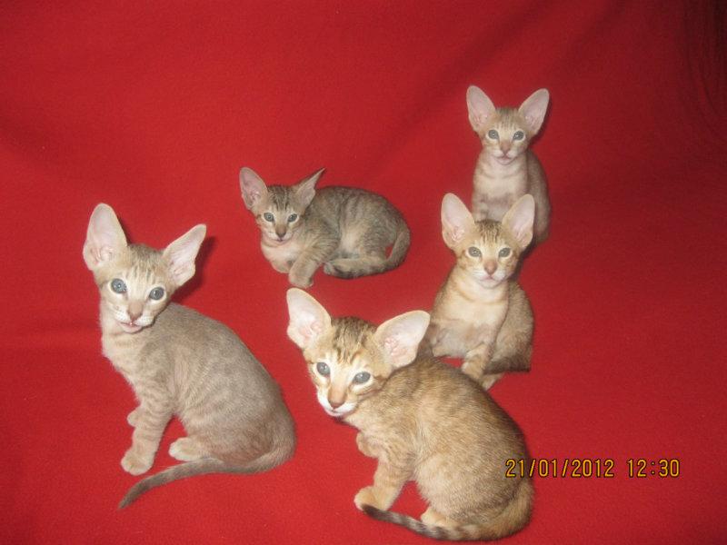 Продам котята ориентальной породы