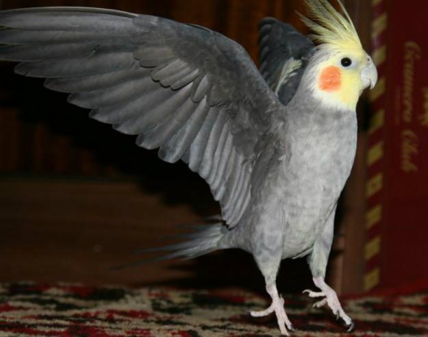 Продам Шикарный самец кореллыГигантская белая м