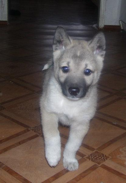 Продам щенков заподно-сибирской лайки