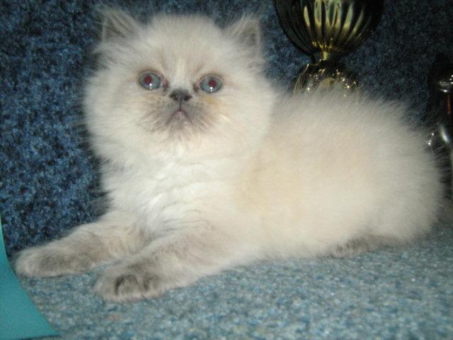 Продам Персидские котятки