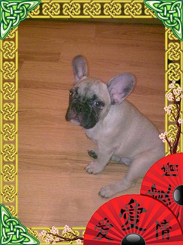 Продам: продам щенков французского бульдога