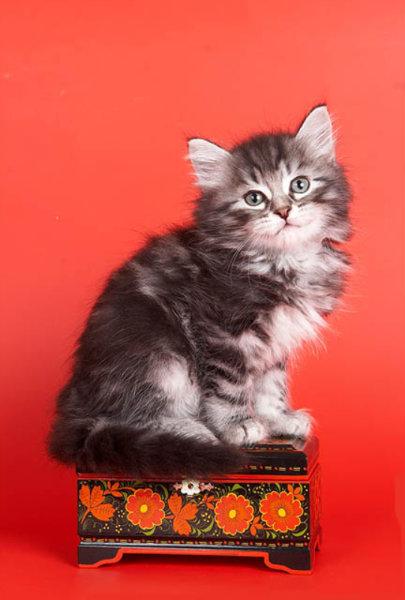 Продам Более 20 Сибирских котят РАЗЛИЧНЫХ окрас