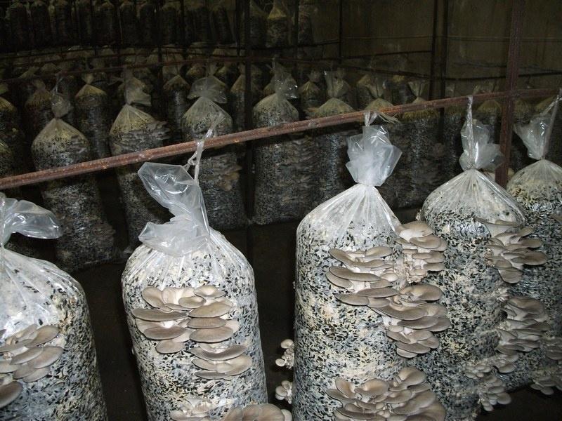 Продам Готовые грибные блоки Вешенки