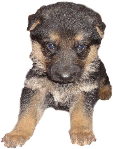 Продам Немецкой овчарки щенки