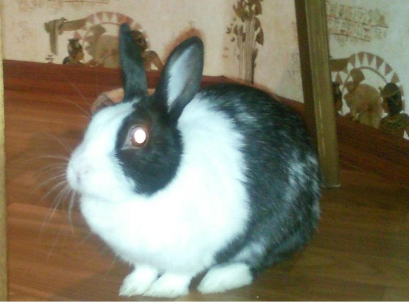 Отдам даром Декоротивный кролик