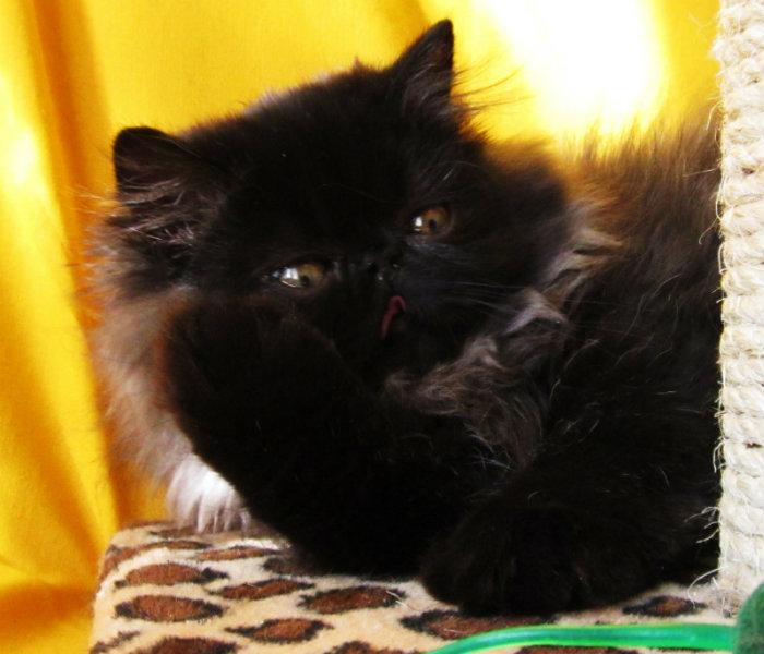 Продам персидский котенок экстремального типа