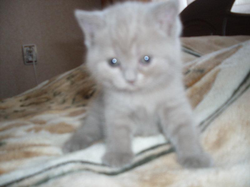 Продам Шотландские, британские плюшевые котята