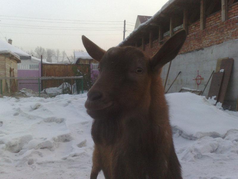 Продам козлa чешской породы