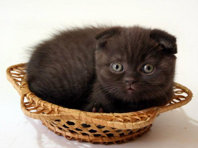 Продам: Шоколадные вислоухие котята