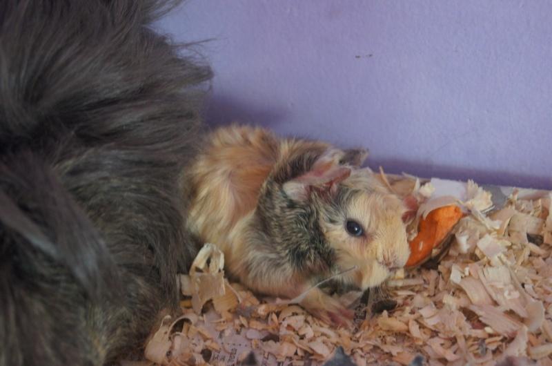 Продам Перуанский красавец свин