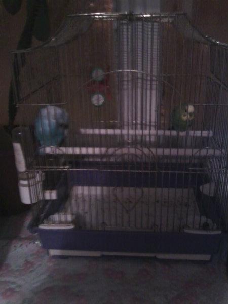 Продам волнистые попугаи