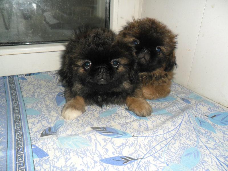 Продам щенки пекинеса