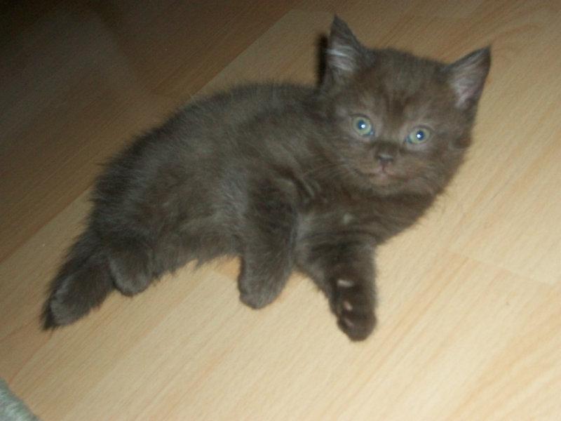 Продам Шотландский котенок