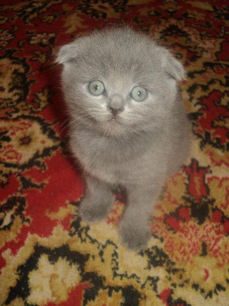 Продам СРОЧНО!!! Продам вислоухих котят