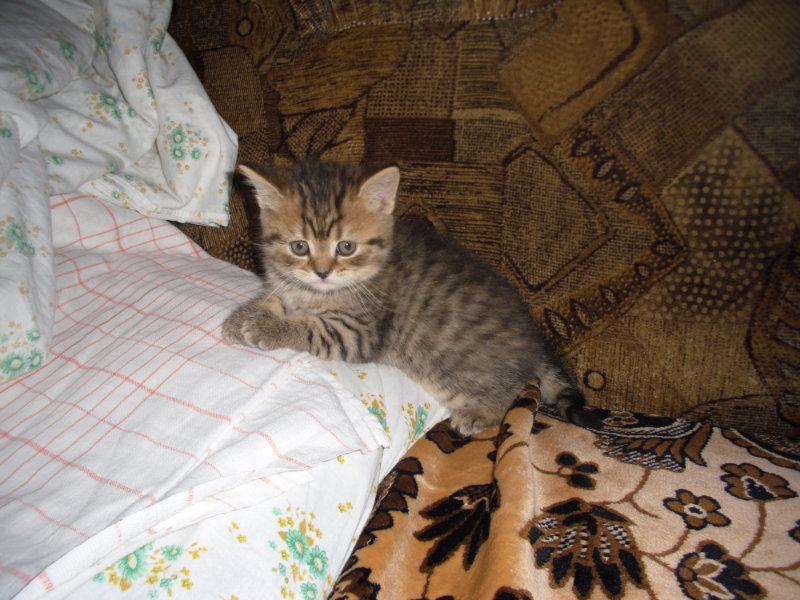 Продам Продам  британских котят