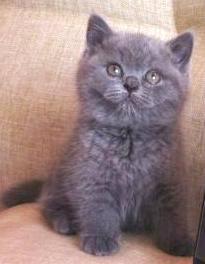 Продам Очаровательные британские котята
