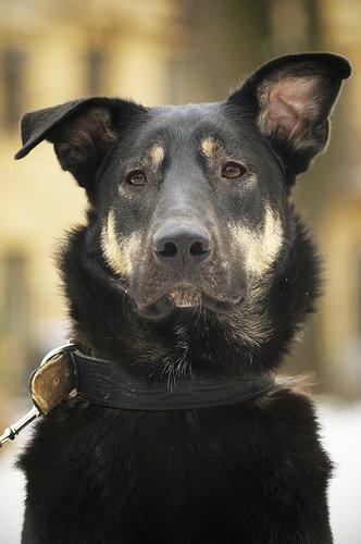 Отдам даром Отличный пес Балт ищет семью!